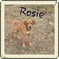 Adopt A Pet :: Rosie (DC) - Spring Valley, NY