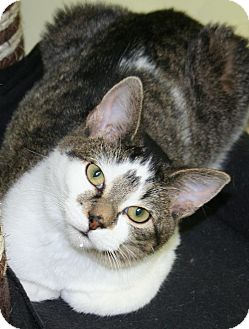 Domestic Shorthair Cat for adoption in Edmonton, Alberta - Tickles
