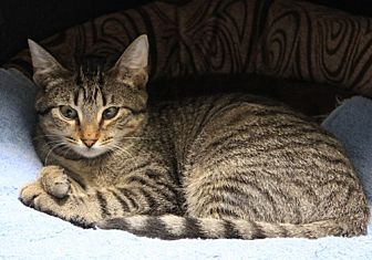 Domestic Shorthair Cat for adoption in Dallas, Texas - MELINDA