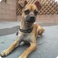Adopt A Pet :: Zach - Las Vegas, NV