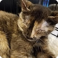 Domestic Shorthair Kitten for adoption in Arlington/Ft Worth, Texas - Lola
