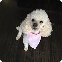 Adopt A Pet :: Simone - Atlanta, GA
