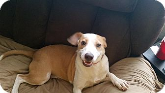 Jack Russell Terrier/Chihuahua Mix Puppy for adoption in Loveland, Ohio - Charma