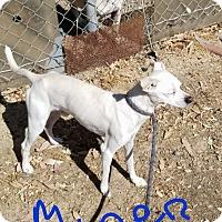 Adopt A Pet :: MINER - Gustine, CA