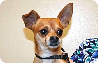 Chihuahua Mix Dog for adoption in Wildomar, California - Rico