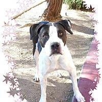 Adopt A Pet :: Kai - Las Vegas, NV