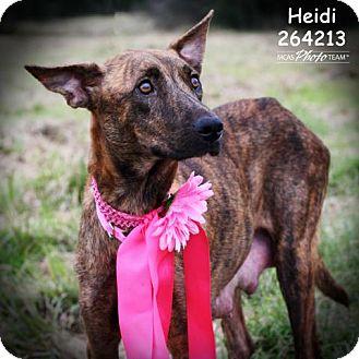 Catahoula Leopard Dog Dog for adoption in Conroe, Texas - HEIDI