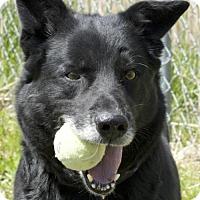 Retriever (Unknown Type)/Shepherd (Unknown Type) Mix Dog for adoption in Potsdam, New York - Milton