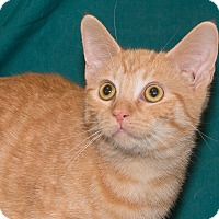 Adopt A Pet :: Chedder - Elmwood Park, NJ