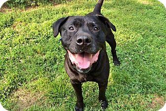 Rottweiler/Labrador Retriever Mix Dog for adoption in Staten Island, New York - BK