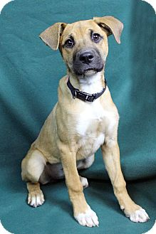 Boxer Mix Dog for adoption in Westminster, Colorado - VERONICA