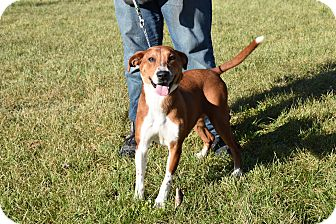 Beagle Mix Dog for adoption in North Judson, Indiana - Ginger