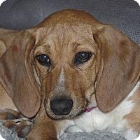 Adopt A Pet :: Peppa - Aurora, IL