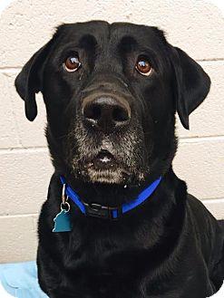 Labrador Retriever Dog for adoption in Pontiac, Michigan - Prince