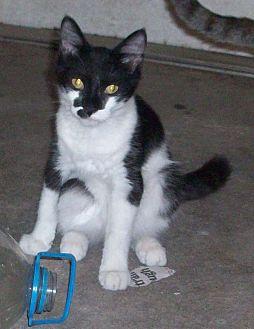 Domestic Longhair Kitten for adoption in Morriston, Florida - Muffin
