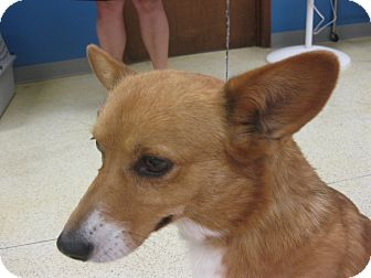 Corgi Dog for adoption in Inola, Oklahoma - Sandy