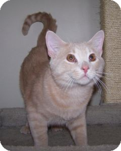 Domestic Shorthair Cat for adoption in Colorado Springs, Colorado - Moose