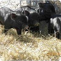 Adopt A Pet :: 4 Piglets born 2/05/10 - Las Vegas, NV