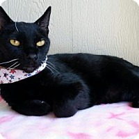 Domestic Shorthair Cat for adoption in Seal Beach, California - Pantera
