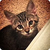 Adopt A Pet :: Kit-PetSmart Kitty - Scottsdale, AZ