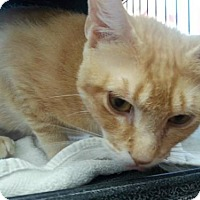 Adopt A Pet :: Pumpkin - Hamilton, ON