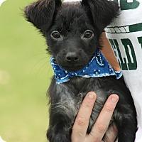 Adopt A Pet :: Geno - Brattleboro, VT