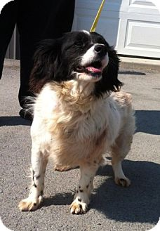 English Springer Spaniel Mix Dog for adoption in Greenville, Kentucky - Angel