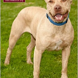 Photo 2 - American Staffordshire Terrier Mix Dog for adoption in Marina del Rey, California - Dior