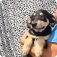 Adopt A Pet :: Zulu - Oviedo, FL