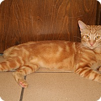 Domestic Shorthair Cat for adoption in Bonita Springs, Florida - Daisy