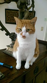 Domestic Shorthair Cat for adoption in Bonita Springs, Florida - Rapyure