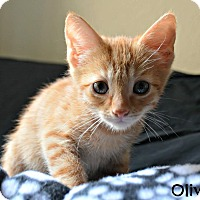 Adopt A Pet :: Oliver - Mission Viejo, CA