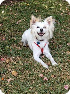 American Eskimo Dog/Papillon Mix Dog for adoption in Downey, California - Jasper