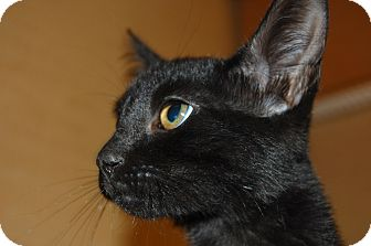 Domestic Shorthair Kitten for adoption in Whittier, California - Keesha