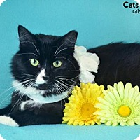 Domestic Mediumhair Cat for adoption in Oviedo, Florida - Maven the Tuxedo Momma