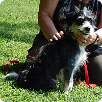 Poodle (Miniature)/Terrier (Unknown Type, Small) Mix Dog for adoption in SUSSEX, New Jersey - Dexter(18 lb) Close To Perfect