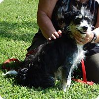 Adopt A Pet :: Dexter(18 lb) Close To Perfect - SUSSEX, NJ