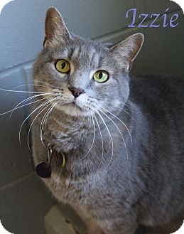Domestic Shorthair Cat for adoption in Bradenton, Florida - Izzie
