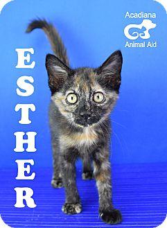 Domestic Shorthair Kitten for adoption in Carencro, Louisiana - Ester
