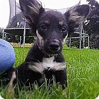 Dachshund Mix Puppy for adoption in Racine, Wisconsin - Patter