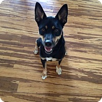 Shepherd (Unknown Type) Mix Dog for adoption in Greeneville, Tennessee - Saxon