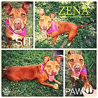 American Pit Bull Terrier/American Staffordshire Terrier Mix Dog for adoption in Converse, Texas - Zena