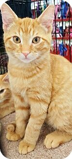 American Shorthair Cat for adoption in Lyons, Illinois - Morris