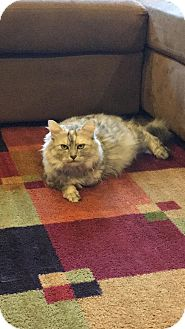Domestic Longhair Cat for adoption in Baltimore, Maryland - Buttercup (COURTESY POST)