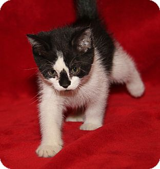 Domestic Shorthair Kitten for adoption in Marietta, Ohio - Wendy (Spayed)
