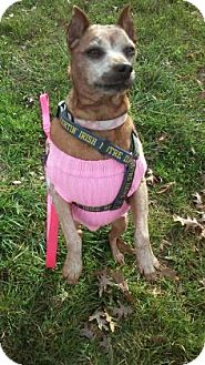 Miniature Pinscher Mix Dog for adoption in Chicago Heights, Illinois - Scooby
