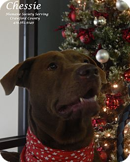 Labrador Retriever/Chesapeake Bay Retriever Mix Dog for adoption in Bucyrus, Ohio - Chessie