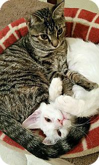 Domestic Mediumhair Kitten for adoption in Middletown, Ohio - BamBam