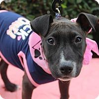 Adopt A Pet :: Pippa-ADOPT Me! - Redondo Beach, CA