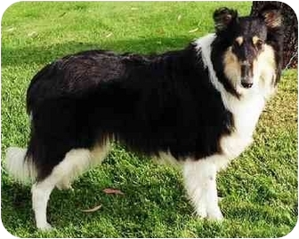 Collie Dog for adoption in San Diego, California - Benji